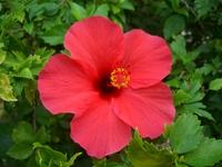 Hibiscus Stock photo [411410] Hibiscus