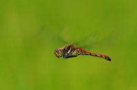 Red dragonfly in flight Stock photo [418997] Red