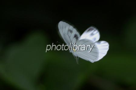 モンシロチョウの飛翔 写真素材 463725 フォトライブラリー