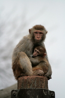 Parent-child of rhesus monkeys Stock photo [462792] Rhesus