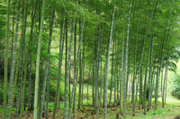 Moso bamboo Stock photo [467201] Moso