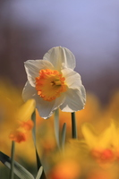 Narcissus flower Stock photo [469583] Narcissus
