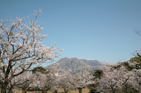 Cherry Seniwao-en and Sakurajima Stock photo [470013] Atsuhime