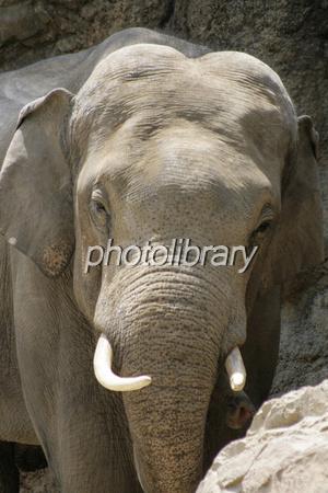 ゾウの正面顔 写真素材 [ 515859 ] , フォトライブラリー