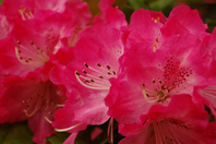 Rhododendron Stock photo [512329] Heather