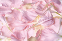 Carnation petals Stock photo [517463] Carnation