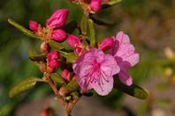 Rhododendron dauricum Stock photo [518133] Rhododendron