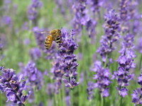 Bee and lavender Stock photo [518189] Lavender