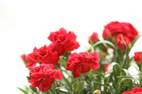 Carnation flower Stock photo [521809] Flower