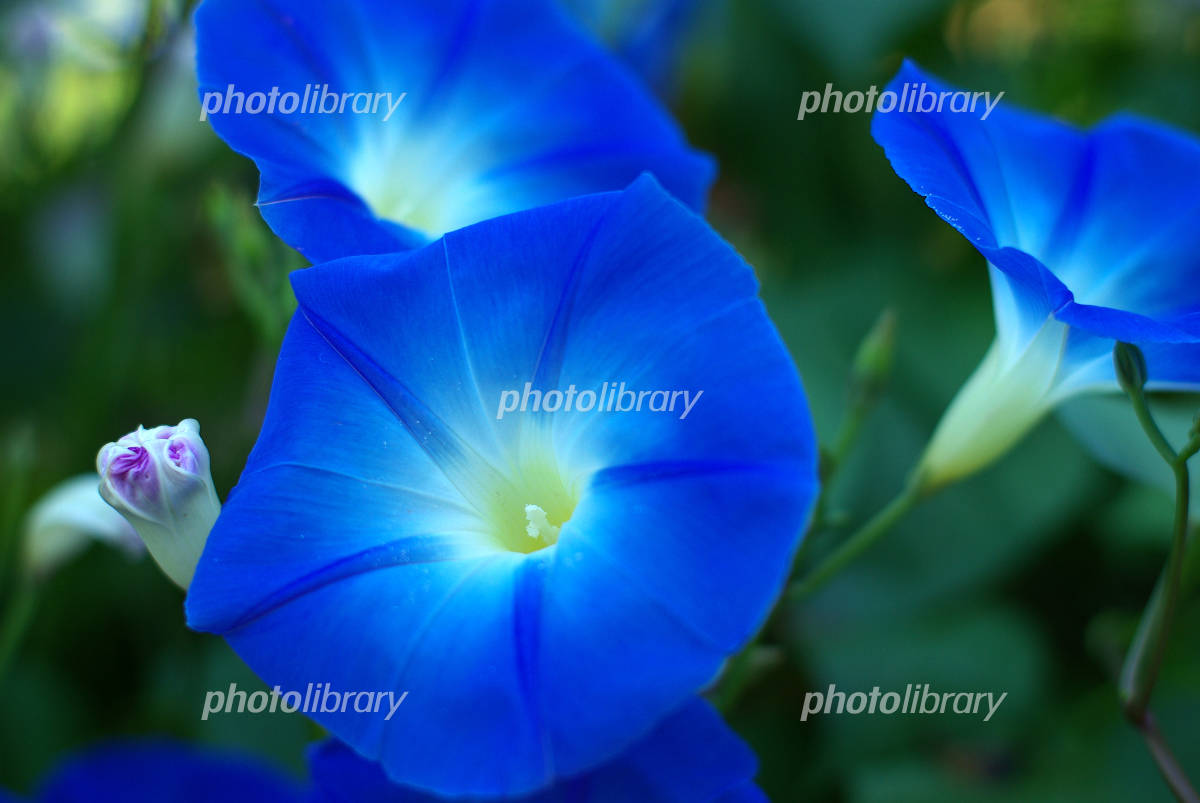 Western Morning Glory Heavenly Blue Photo