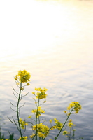 Rape blossoms Stock photo [551658] Rape