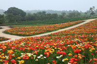 Flower land poppy trail of Stock photo [552420] Tochigi