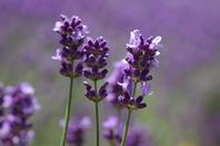 Lavender flower Stock photo [552600] Lavender