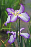 Of Horikiri iris garden Chitose Kamo Stock photo [554847] Horikiri