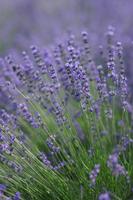 Lavender Stock photo [556416] Lavender