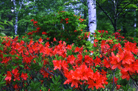 Birch and Rengetsutsuji Stock photo [557311] Azalea
