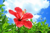 Hibiscus Stock photo [560064] Okinawa
