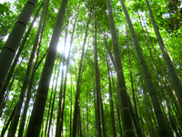 Bamboo forest Stock photo [560215] Bamboo