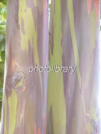レインボーユーカリの画像 p1_2