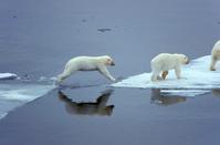 Arctic Polar Bear Stock photo [605397] Polar