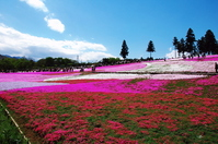 Moss phlox Chichibu Hitsujiyama park Stock photo [605420] Cherry