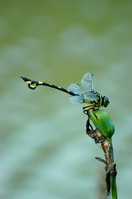 Sinictinogomphus clavatus Stock photo [613478] Dragonfly