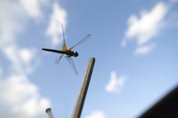 Dragonfly that you want to stay in bamboo Stock photo [614539] Dragonfly