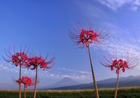 Amaryllis and Mount Fuji Stock photo [615423] Mt.