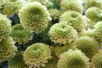Pompon chrysanthemum Stock photo [678455] Chrysanthemum