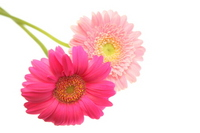Two-wheel of Gerbera Stock photo [679644] Flower