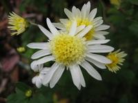 White chrysanthemum Stock photo [680705] Chrysanthemum
