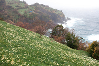 Echizen coast daffodil field of Stock photo [681789] Echizen