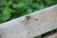 Shiocaratombo Stock photo [682242] Dragonfly