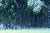 Bamboo forest Stock photo [684117] Winter