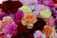 Chic shades input of carnation flowers Stock photo [686968] Carnation