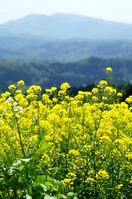 Rape blossoms Stock photo [687776] Noto
