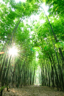 Trail in the bamboo forest Stock photo [687984] Bamboo