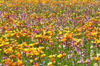 松崎町 大規模花畑