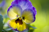 Pansy Stock photo [761475] Pansy
