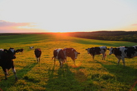 Cattle grazing Stock photo [763038] Ranch