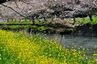 松崎町 那賀川沿いの桜と菜の花