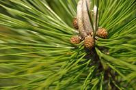 Pine cone Stock photo [765686] Pine