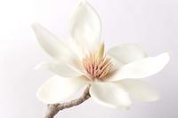 Magnolia Stock photo [766035] White