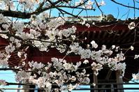 浄泉寺山門と桜