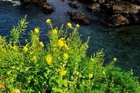 菜の花と海