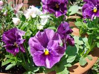 Pansy purple Stock photo [766558] Pansy