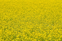 Rape field Stock photo [766769] Rape