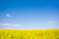 Rape field Stock photo [766997] Rape