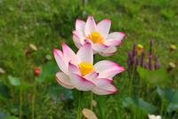 Lotus Stock photo [767622] Lotus