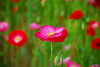 Poppy Stock photo [769098] Papaver